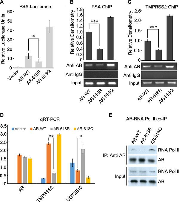 ARD1-dependent acetylation enhances AR transcriptional activity.