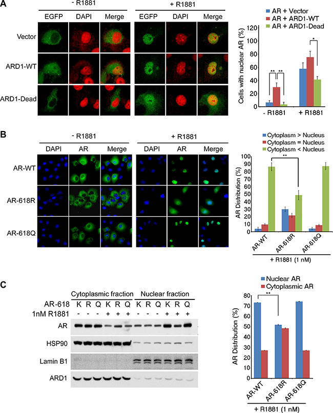 ARD1-mediated AR acetylation at K618 enhances nuclear localization.