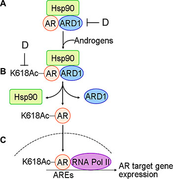 Schematic for the mechanism of ARD1-mediated AR acetylation in prostate tumorigenesis: (A) with limited androgen, ARD1, AR, and HSP90 form a complex in prostate cells.
