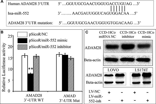 Validation of ADAM28 mRNA as a target of miR-552.