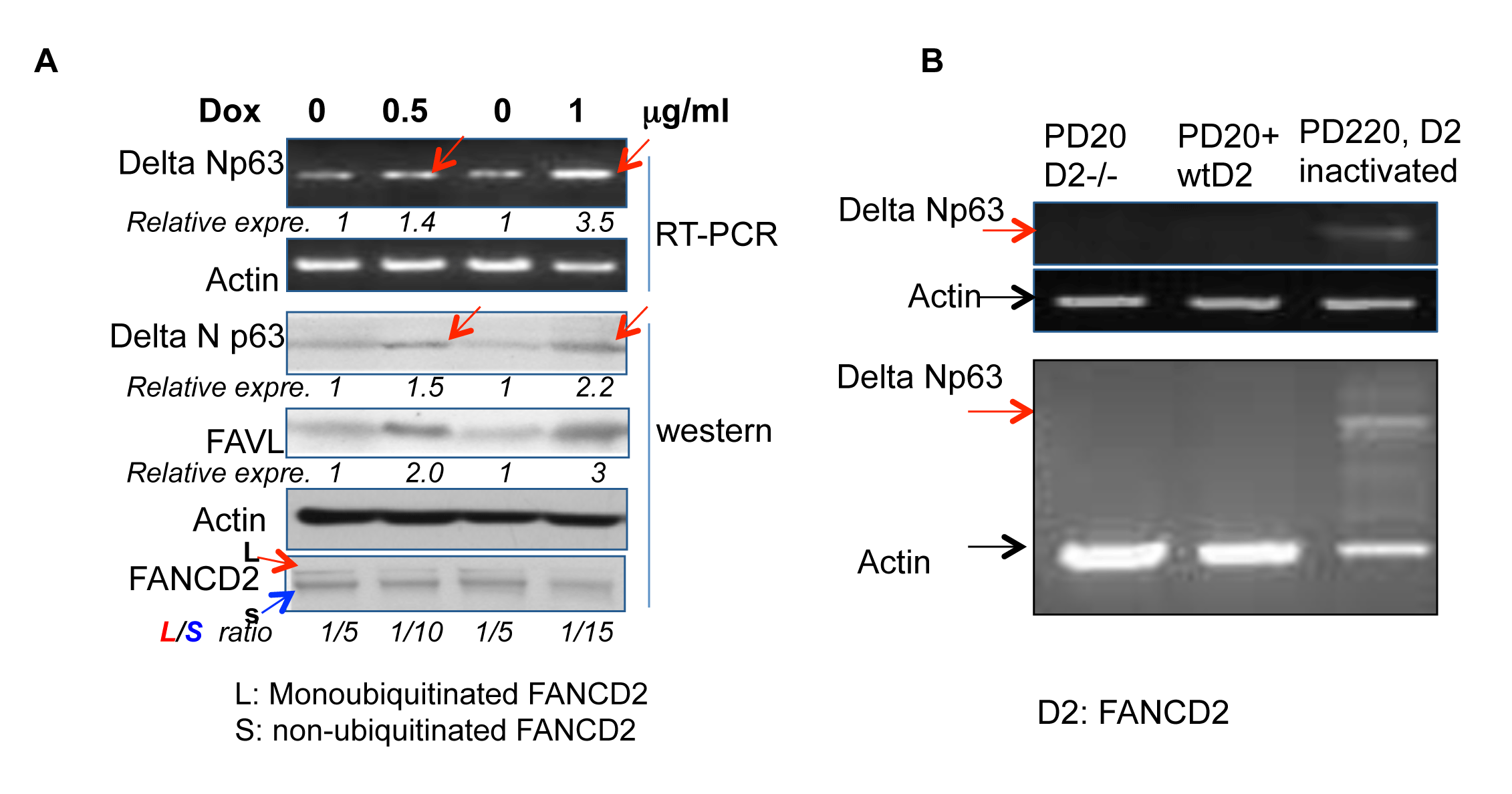 ∆Np63 elevation is recapitulated in 293T cells and FA patient cells upon the inactivated FANCD2.