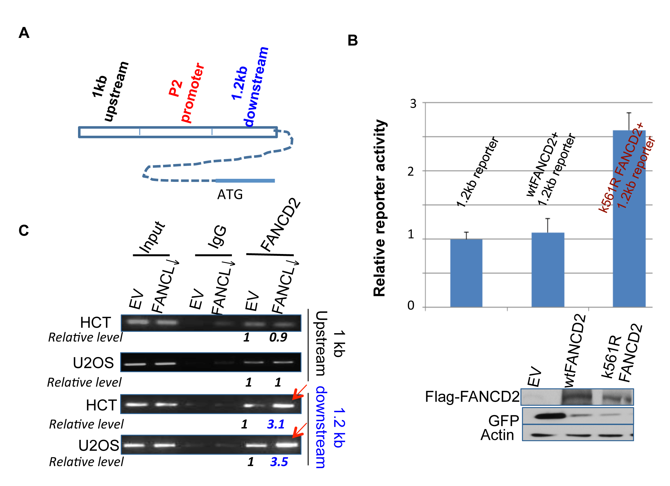 Inactivated FANCD2 promotes the expression of ∆Np63 via a 1.2 kb DNA fragment downstream of the P2 promoter.