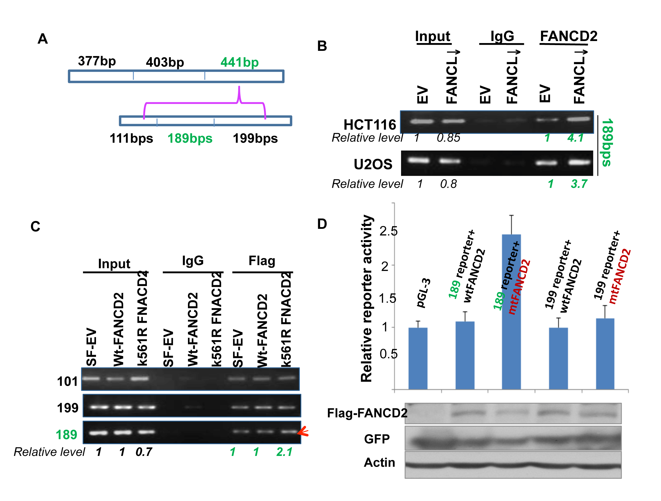 A 189bp DNA sequence within the 441 bp segment can mediate the regulation of ∆Np63 expression by mtFANCD2.