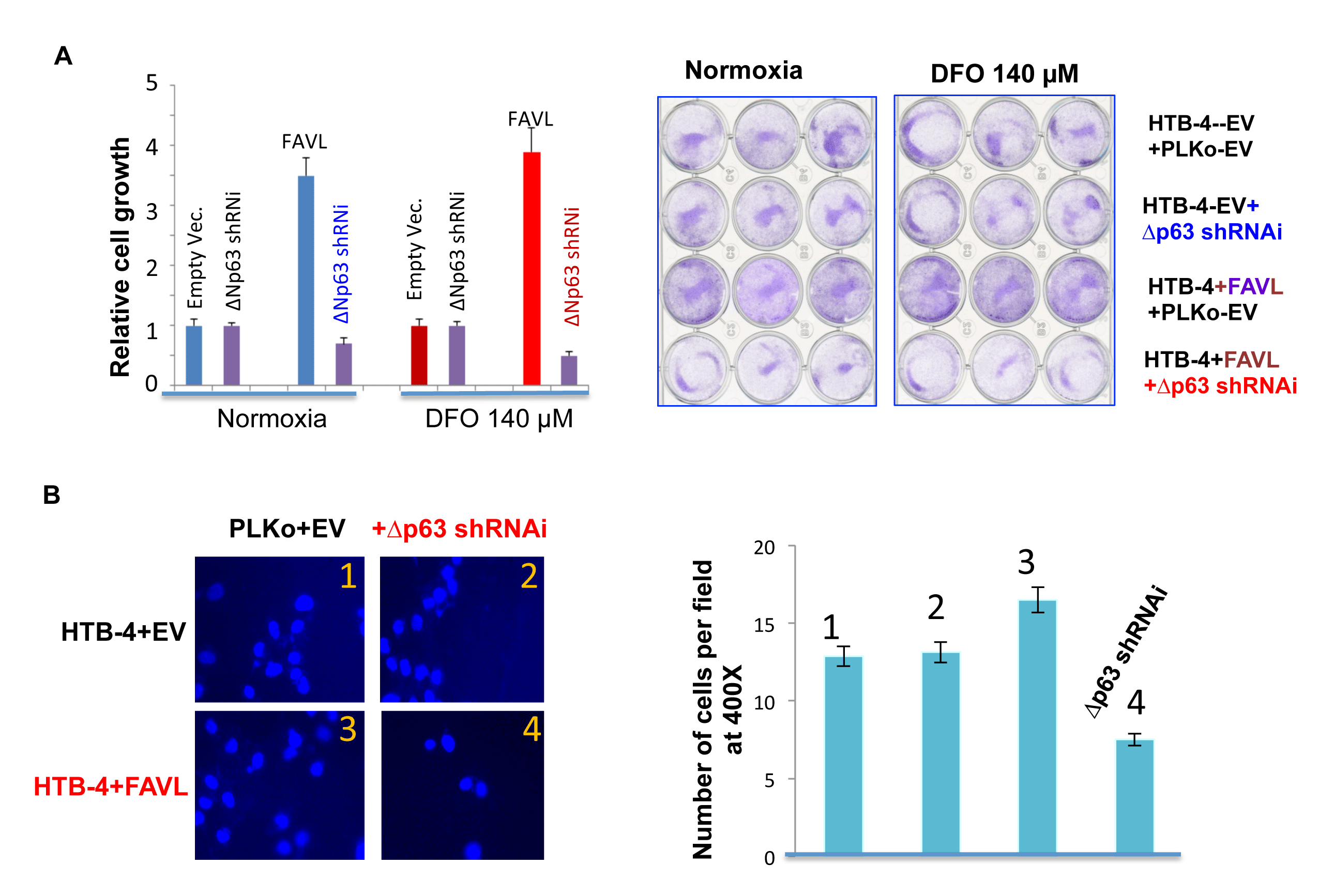 Silencing ∆Np63 mRNA expression substantially abrogates the tumorigenic potential of HTB-4 bladder cancer cells triggered by FA pathway impaired by elevated FAVL.