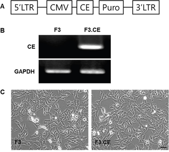 Establishment of HB1.F3 human neural stem cells expressing the carboxylesterase (CE) gene.