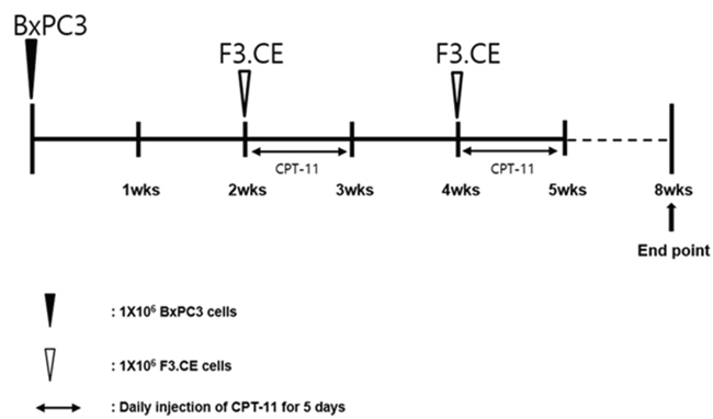 Timeline for the establishment of pancreas adenocarcinoma animal model and subsequent treatment using F3.CE cells and CPT-11.