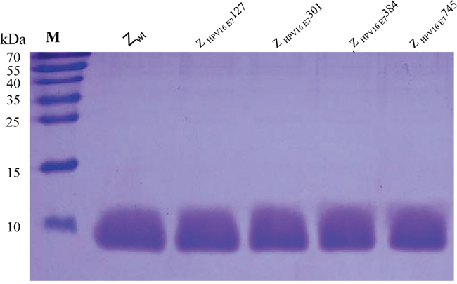 SDS-PAGE of 4 purified HPV16 E7-binding affibodies.