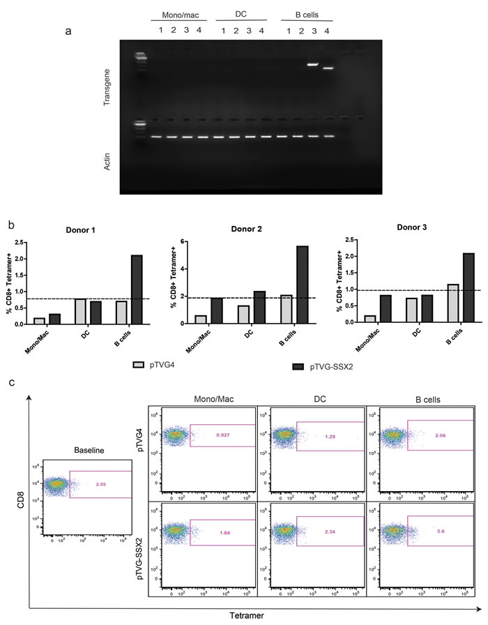 Primary human B cells encode plasmid mRNA and mediate expansion of cognate antigen specific CD8 T cells upon plasmid DNA treatment.