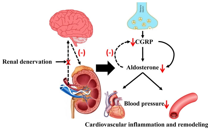 The possible role of RDN in attenuating Ang II-induced cardiovascular remodeling through inhibition of aldosterone expression.