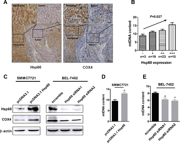 Hsp60 up-regulation is associated with increased mitochondrial biogenesis in HCC cells.