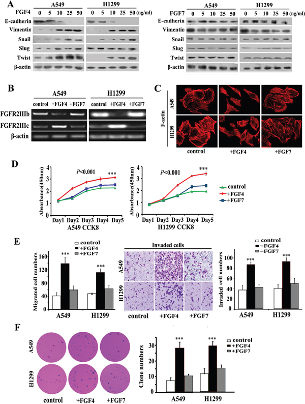 FGF4, not FGF7 treatment induces EMT, causes a switch from FGFR2 IIIb to FGFR2 IIIc and changes the cell morphology and behavior of A549 and H1299 lung ADC cells.