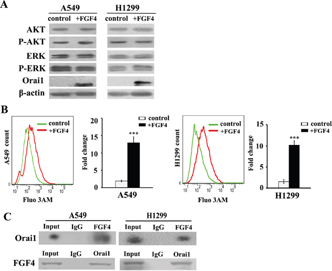 FGF4 elevates intracellular calcium concentration and upregulates the expression of Orai1.