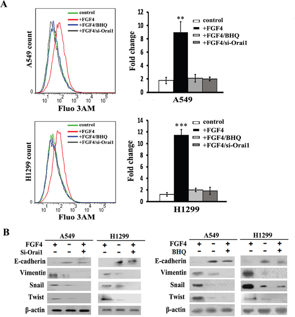 Orai1 knockdown and BHQ impair FGF4-induced EMT in A549 and H1299 cells.