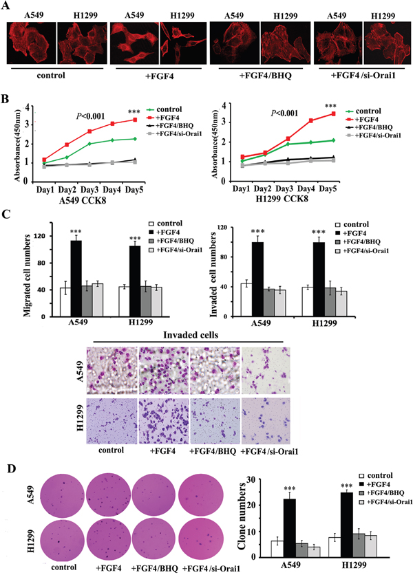 BHQ and Orai1 knockdown induce restoration of epithelial phenotype, impair migration and invasion, inhibit cell growth in monolayer cultures and anchorage-independent growth in soft agar of A549 and H1299 cells.