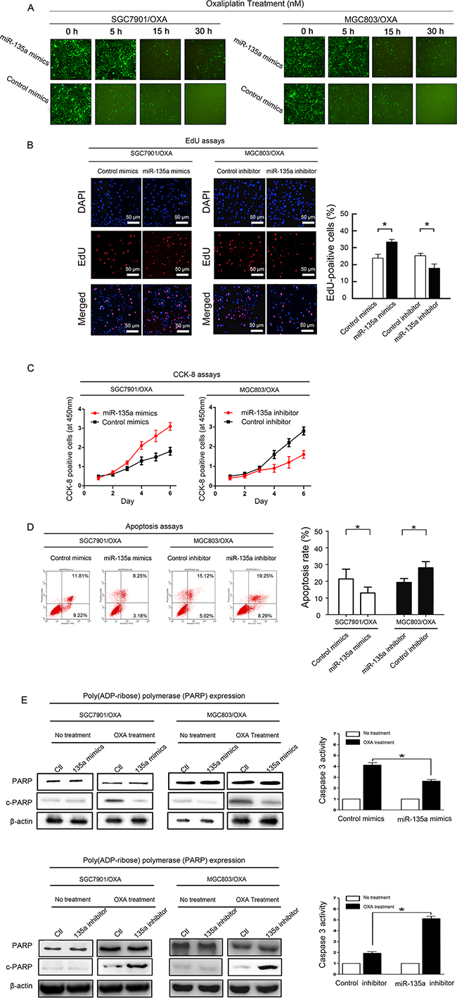 miR-135a promotes OXA resistance in GC cells.