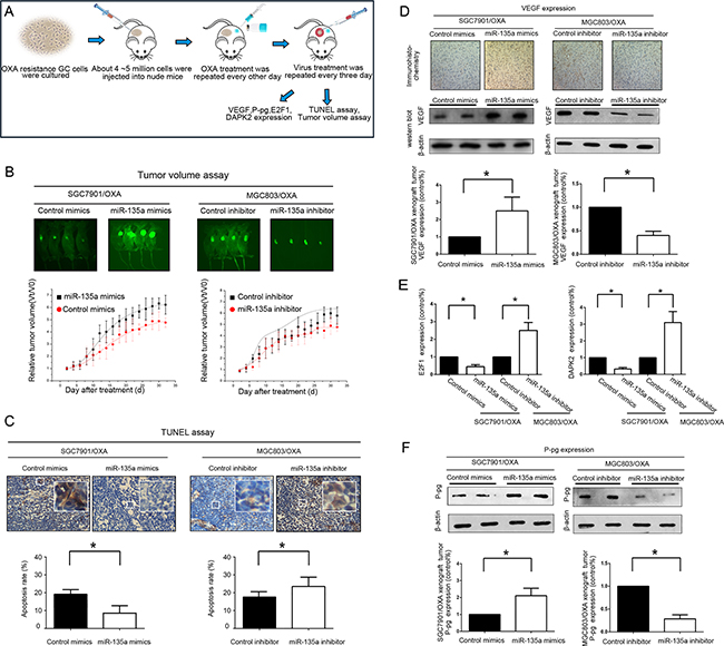 Lentiviral administration of miR-135a suppresses OXA-resistant GC cell growth in vivo.
