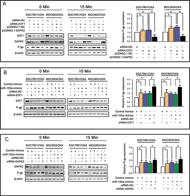 miR-135a promotes OXA resistance in GC cells by suppressing the E2F1/DAPK2 signaling pathway.