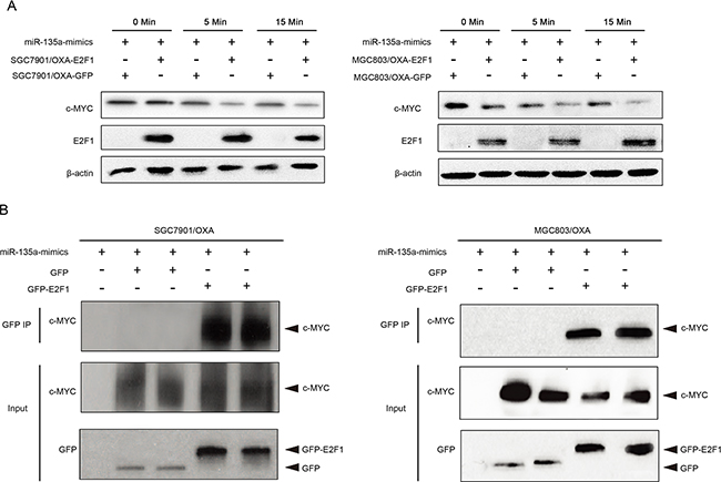 Association of E2F1 with c-MYC in miR-135a-induced oxaliplatin resistance.