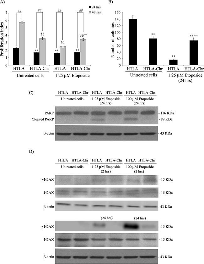Chronically-etoposide-treated HTLA cells (HTLA-Chr) are less proliferating and tumorigenic than untreated HTLA parental cells and they evade apoptotic death induced by etoposide exposure.