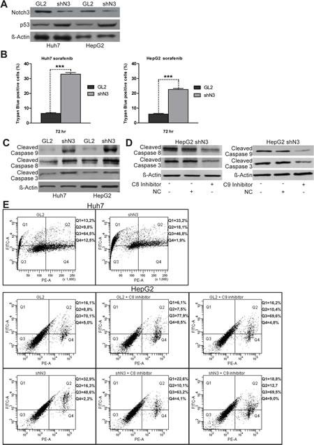 Notch3 KD enhances the proapoptotic effect of sorafenib in vitro.