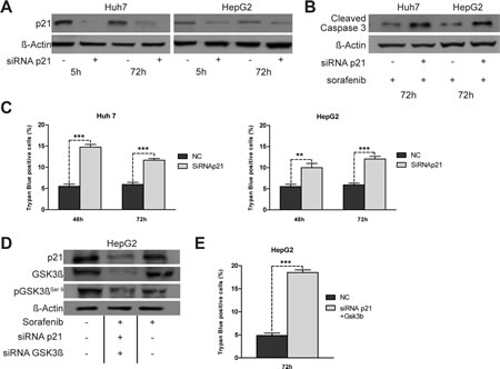 Effects of knockdown of p21 expression on apoptosis induced by sorafenib.