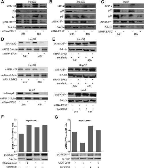 Role of ERK1/2 on p53, p21 and pGSK3βser9 regulation.