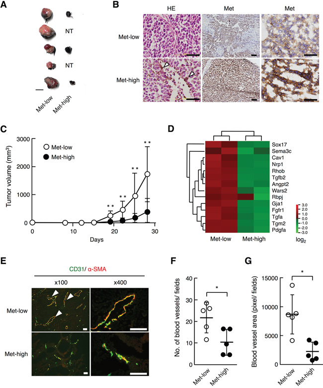 Tumorigenicity and tumor growth of Met-low and Met-high cells subcutaneously implanted in syngenic mice.