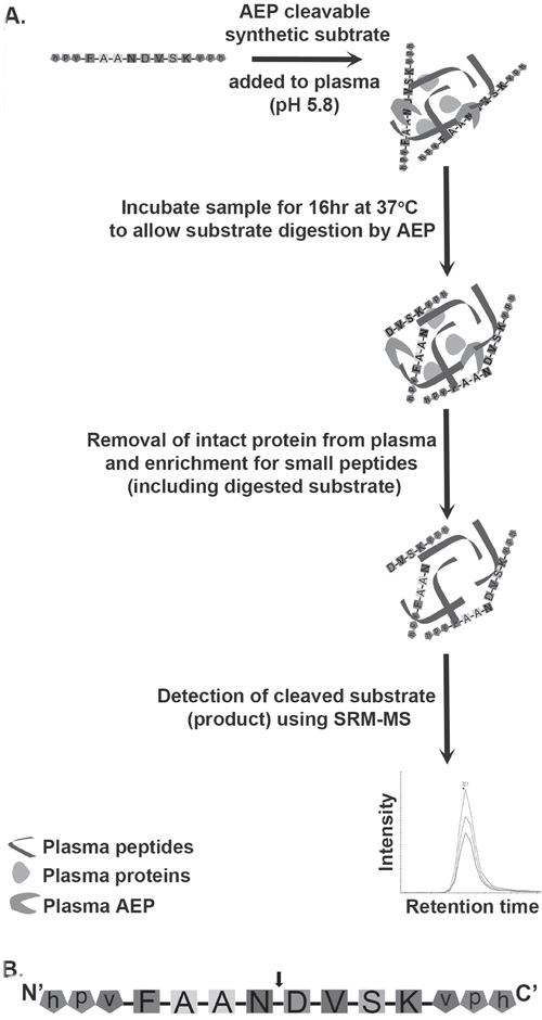 Schematic diagram of the workflow involved in assaying AEP activity in plasma samples.