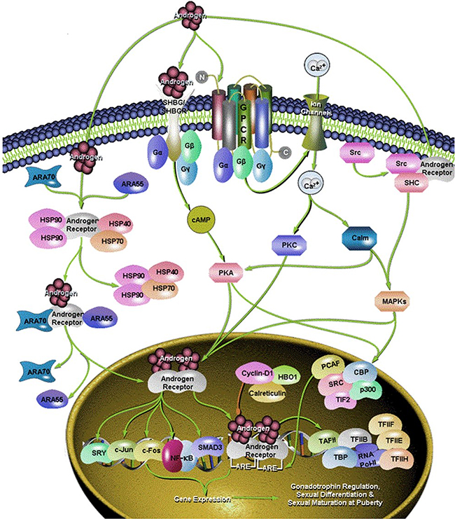 Different signaling pathway of androgen.