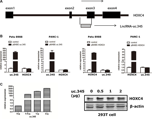 uc.345 and HOXC4 gene are independently regulated.