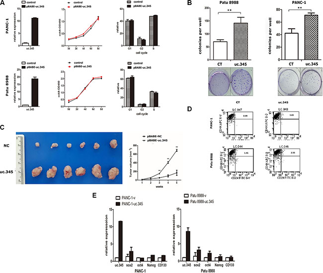 Overexpression of uc.345 promotes tumorigenesis of pancreatic cancer cells in vitro and in vivo.
