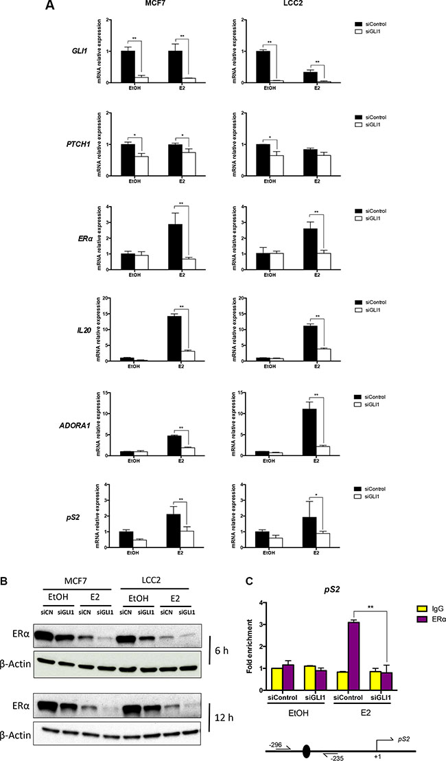 GLI1 depletion reduces the expression of ERα, its target genes and the binding to its targets.