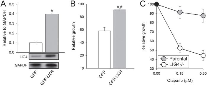 Sensitivity to olaparib depended on LIG4 expression levels.