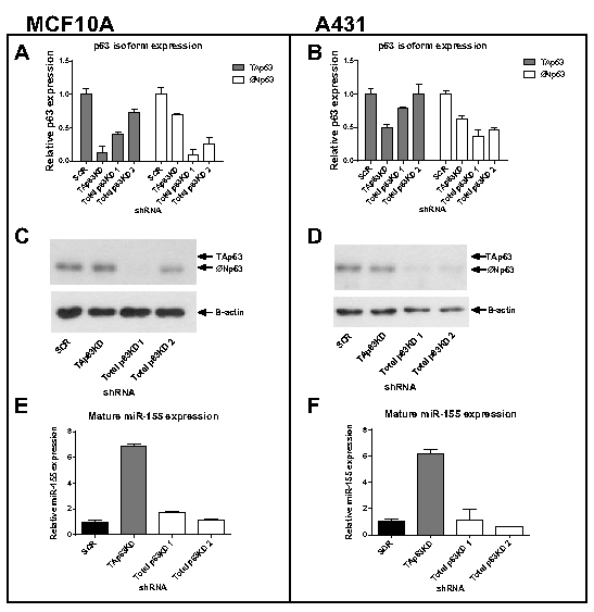 Knockdown of TAp63 induces miR-155 expression.