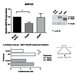 Exogenous expression of TAp63 inhibits miR-155 expression.