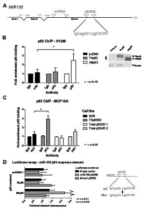 ΔNp63 binds to the miR-155 host gene and drives expression.