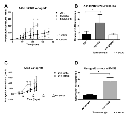 TAp63 knockdown and miR-155 overexpression enhance tumour growth.
