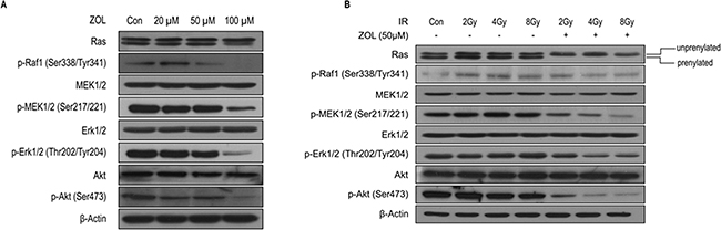 PI3K-Akt and MAPK expression after ZOL and radiation treatment of OS cells.