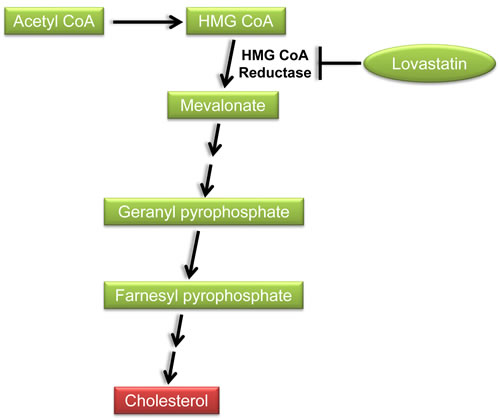 Inhibition of the cholesterol biosynthetic pathway by lovastatin.
