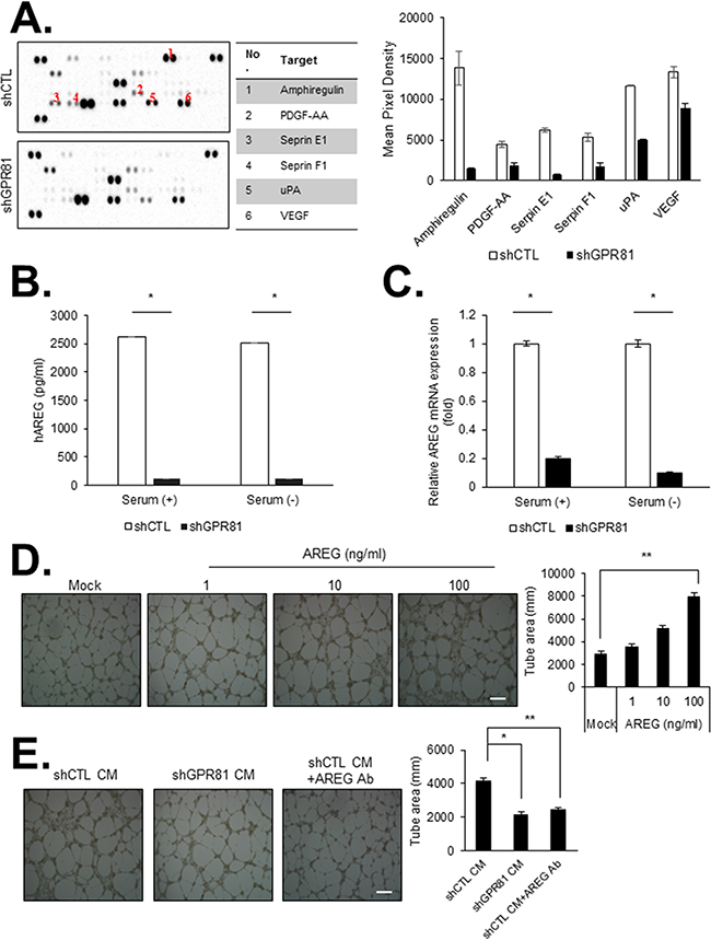GPR81 activation promotes angiogenesis in primary human endothelial cells in vitro.