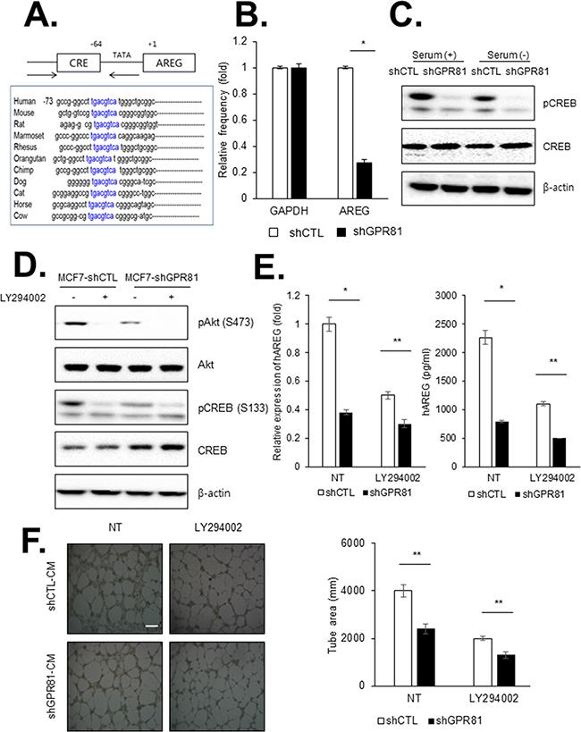 GPR81 signaling promotes angiogenesis via PI3K/Akt-CREB pathway activation.