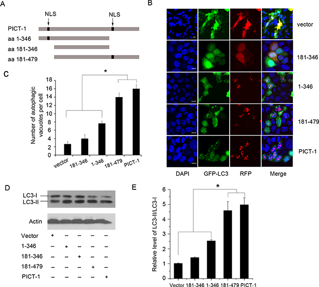 The nucleolar accumulation of PICT-1 is required for PICT-1-induced autophagy.