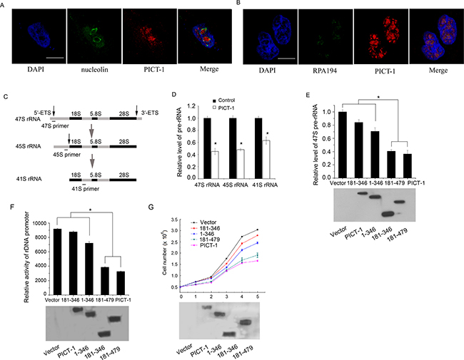 PICT-1 partly localizes to nucleolar FC region, and can regulate rRNA transcription and inhibit cell growth and proliferation.