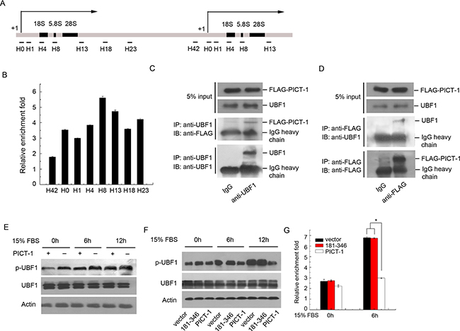 PICT-1 occupies rDNA loci and regulates UBF1 activity and the recruitment of Pol I to the rDNA promoter.