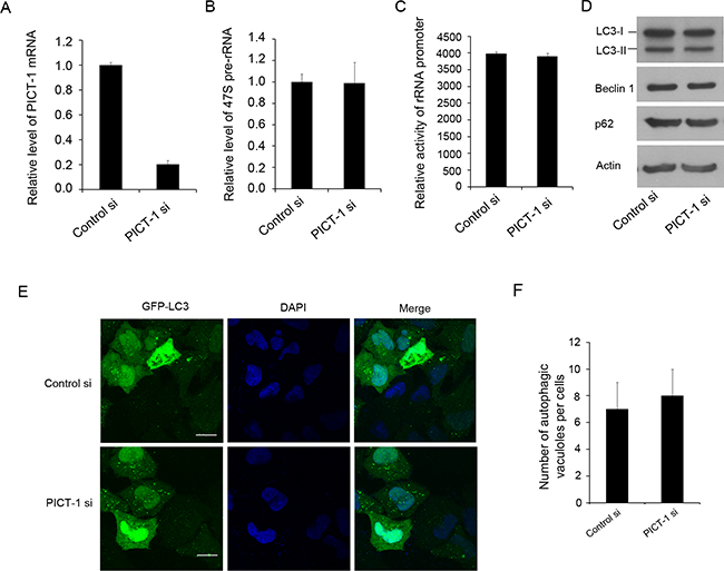 The knockdown of PICT-1 does not significantly affect the pre-rRNA transcription and induce autophagic formation.
