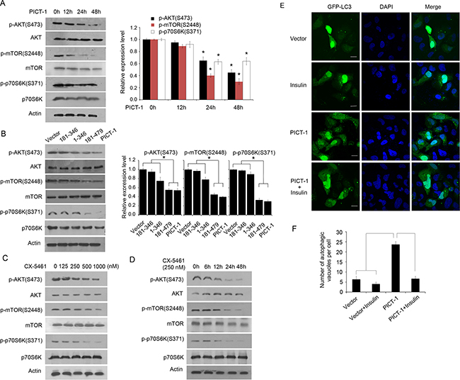 PICT-1- and CX-5461-induced autophagy involve the AKT/mTOR/p70S6K pathway.