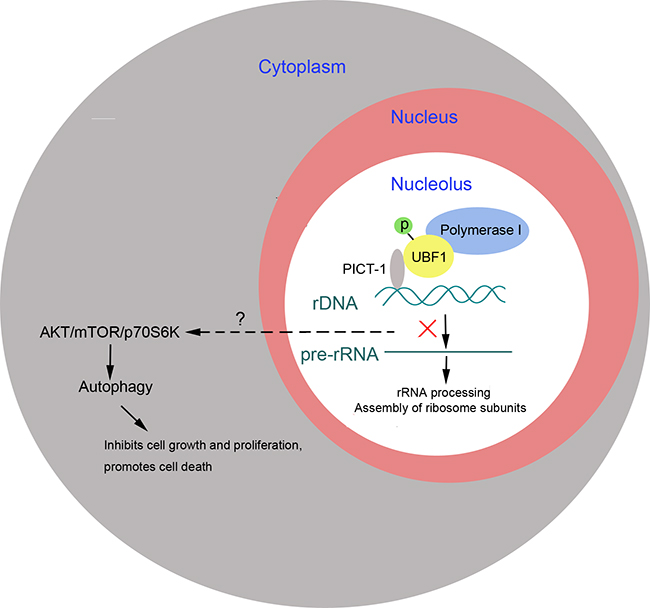 PICT-1 functions as a tumor suppressor to induce autophagy-related cell growth inhibition and cell death.