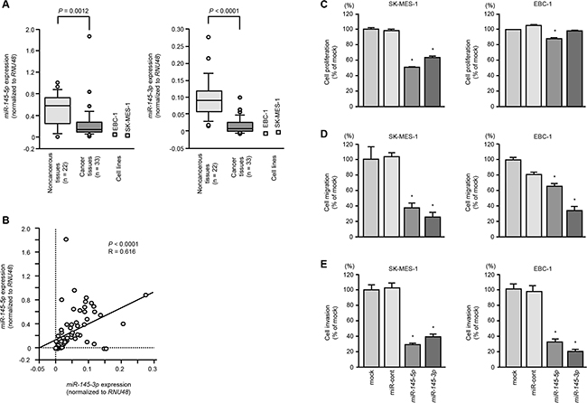 The expression levels of miR-145-5p and miR-145-3p in lung SCC cells and their ectopic effects in cancer cells.