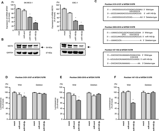 Direct regulation of MTDH by miR-145-5p or miR-145-3p in lung SCC cells.