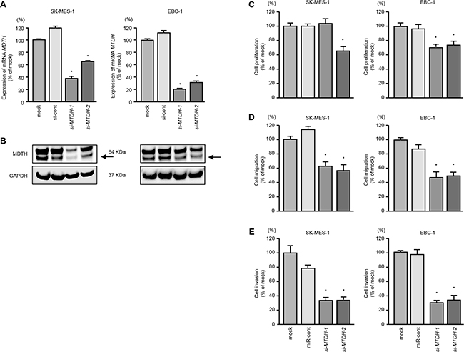 Effects of MTDH silencing in lung SCC cell lines.